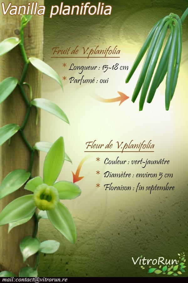 Fiche Vplanifolia
